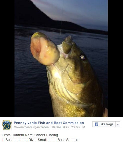 The fish in the susquehanna river are looking safe to eat for Safe fish to eat